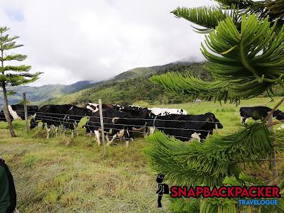 Lembu Kundasang