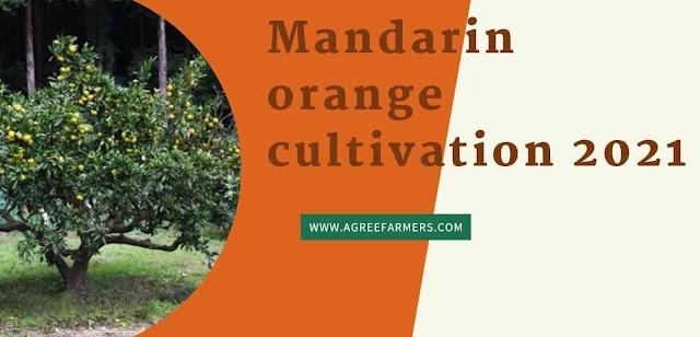 Mandarin orange cultivation 2021