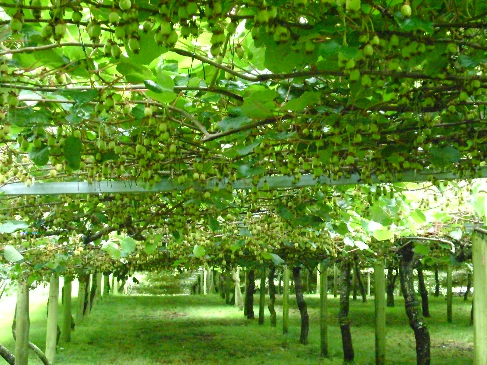 Kiwi 360 Kiwifruit Farm. Bay of Plenty. New Zealand