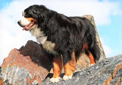 Bernese Mountain Dog www.worldetalk.com
