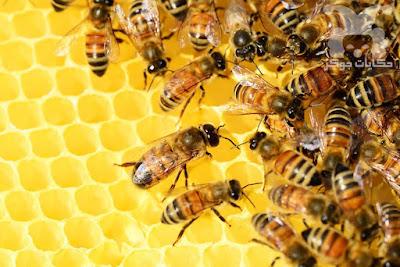 النحل النحل النحل النحل النحل النحل النحل النحل النحل النحل النحل النحل النحل النحل النحل النحل النحل النحل النحل النحل النحل النحل النحل النحل النحل النحل النحل النحل النحل النحل النحل النحل النحل النحل النحل النحل النحل النحل النحل النحل النحل النحل النحل النحل النحل النحل النحل النحل النحل النحل مملكة النحل مملكة النحل مملكة النحل مملكة النحل مملكة النحل مملكة النحل مملكة النحل مملكة النحل مملكة النحل مملكة النحل مملكة النحل مملكة النحل مملكة النحل مملكة النحل مملكة النحل مملكة النحل مملكة النحل مملكة النحل مملكة النحل مملكة النحل مملكة النحل مملكة النحل مملكة النحل مملكة النحل مملكة النحل مملكة النحل مملكة النحل مملكة النحل مملكة النحل مملكة النحل مملكة النحل مملكة النحل مملكة النحل مملكة النحل مملكة النحل مملكة النحل ر مملكة النحل مملكة النحل مملكة النحل مملكة النحل مملكة النحل مملكة النحل مملكة النحل مملكة النحل مملكة النحل مملكة النحل مملكة النحل مملكة النحل مملكة النحل النحل النحل النحل النحل النحل النحل النحل النحل النحل النحل النحل النحل النحل النحل النحل النحل النحل النحل النحل النحل النحل النحل النحل النحل النحل النحل النحل النحل النحل النحل النحل النحل النحل النحل النحل النحل النحل النحل النحل النحل النحل النحل النحل النحل النحل النحل النحل النحل النحل النحل مملكة النحل مملكة النحل مملكة النحل مملكة النحل مملكة النحل مملكة النحل مملكة النحل مملكة النحل مملكة النحل مملكة النحل مملكة النحل مملكة النحل مملكة النحل مملكة النحل مملكة النحل مملكة النحل مملكة النحل مملكة النحل مملكة النحل مملكة النحل مملكة النحل مملكة النحل مملكة النحل مملكة النحل مملكة النحل مملكة النحل مملكة النحل مملكة النحل مملكة النحل مملكة النحل مملكة النحل مملكة النحل مملكة النحل مملكة النحل مملكة النحل مملكة النحل ر مملكة النحل مملكة النحل مملكة النحل مملكة النحل مملكة النحل مملكة النحل مملكة النحل مملكة النحل مملكة النحل مملكة النحل مملكة النحل مملكة النحل مملكة النحل النحل النحل النحل النحل النحل النحل النحل النحل النحل النحل النحل النحل النحل النحل النحل النحل النحل النحل النحل النحل النحل النحل النحل النحل النحل النحل النحل النحل النحل النحل النحل النحل النحل النحل النحل النحل النح