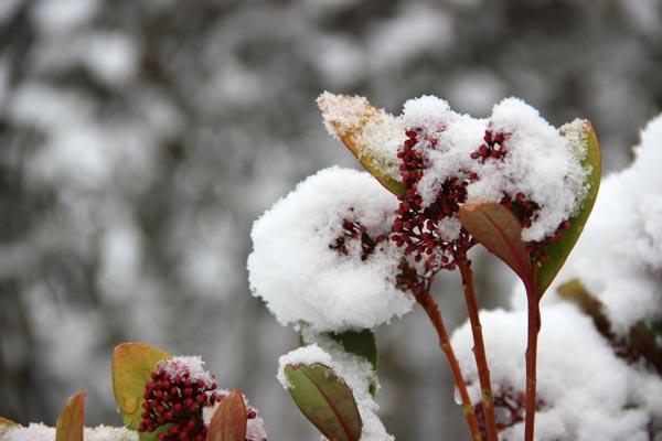 Blüte mit gefrorenem Schnee bedeckt