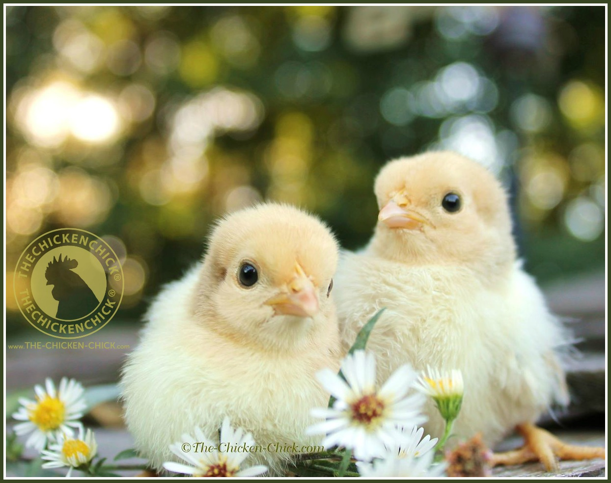 Buying Chickens to Start a Laying Flock | The Chicken Chick®
