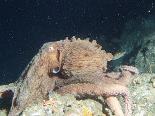 Mesonychoteuthis hamiltoni giant squid