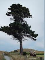 Maritime pine, Kaikoura Peninsula - South Island, New Zealand