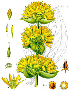 800px-Gentiana_lutea_-_K%25C3%25B6hler%25E2%2580%2593s_Medizinal-Pflanzen-066.jpg
