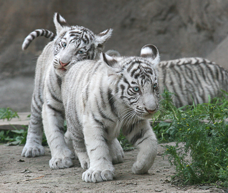 One Pic: Cute White Tiger Cubs - photo#32