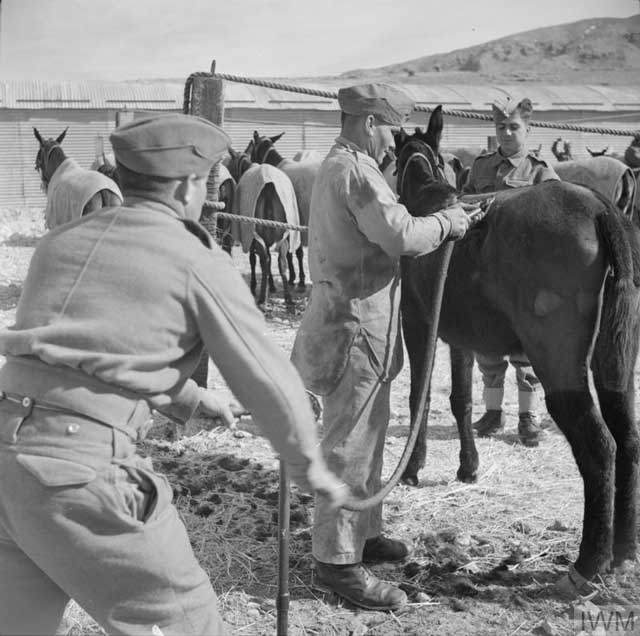 Cypriot Mule Corps in North Africa, 10 February 1942 worldwartwo.filminspector.com