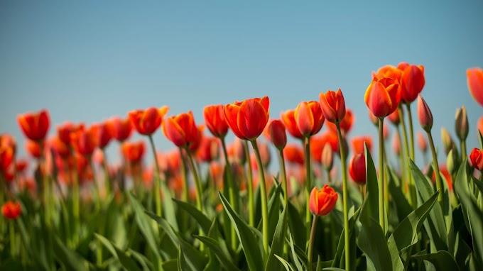 Tulipa, Flor, Canteiro de Flores, Primavera