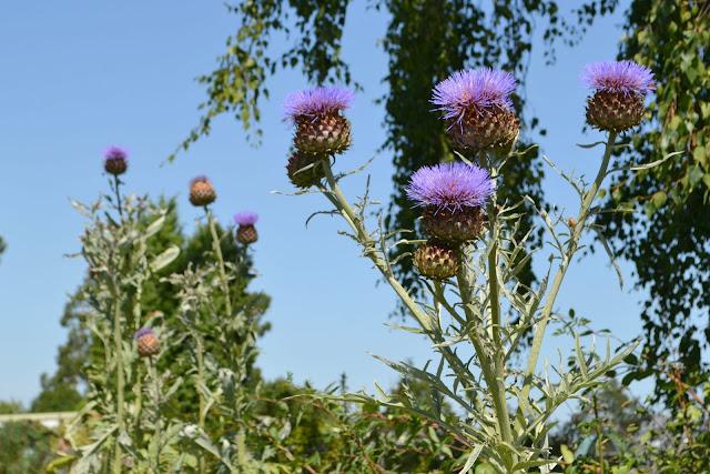 Flowering thistles