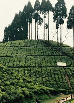 Tea Plantation darjeeling. Darjeeling is also known as the champagne of teas