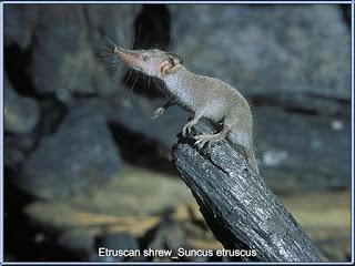 Tikus Etruscan (Etruscan Pygmy Shrew) adalah tikus terkecil didunia