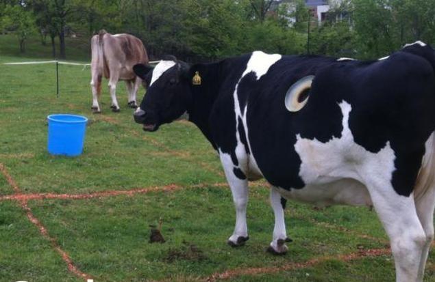 Nhiều con bò sữa 'đục lỗ' ngay trên cơ thể nhằm mục đích gì?