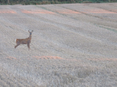 photo of Roe deer standing in field of stubble. Deer is side on to camera and facing rightis f