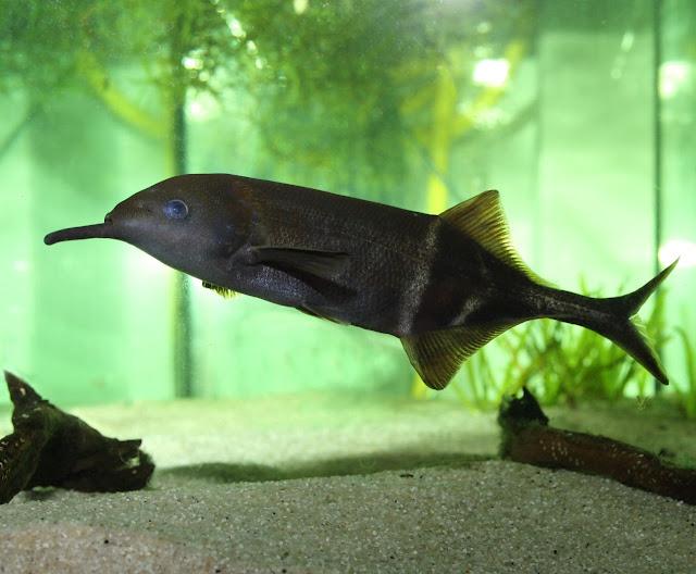 سمكة الفيل أغرب وأذكى سكمة في العالم