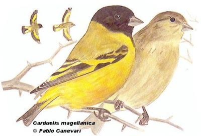 Cabecita negra común Spinus magellanicus