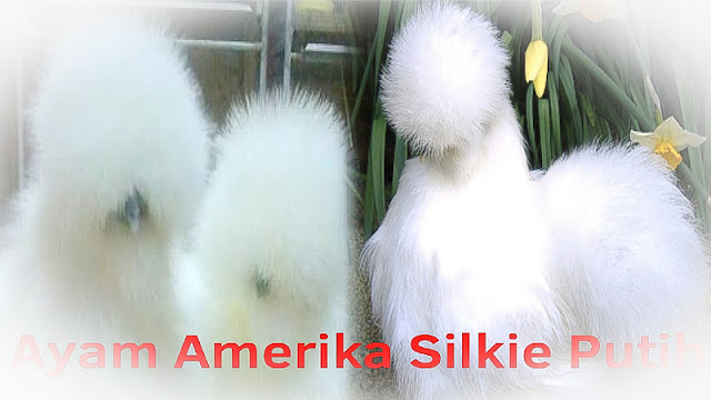 white american silkie