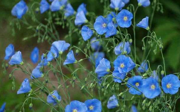 Синие цветы в саду: фото и названия