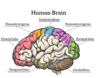 brain-anatomy-in-hindi