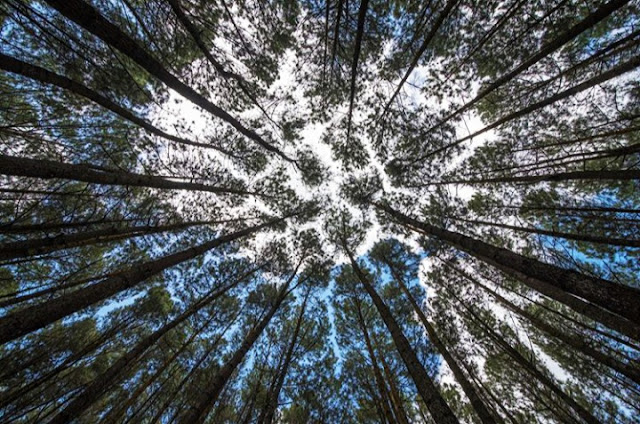 Lokasi dan Harga Tiket Hutan Pinus Asri Karangasem Bantul Jogja, tiket masuk hutan pinus asri 2020, hutan pinus asri bantul 2020, hutan pinus asri tiket masuk 2020, lokasi hutan pinus asri, alamat hutan pinus asri 2020, harga tiket masuk hutan pinus asri 2020, hutan pinus cijapati, hutan pinus pengger, hutan pinus mangunan, puncak hutan pinus, rute hutan pinus mangunan, sejarah hutan pinus mangunan