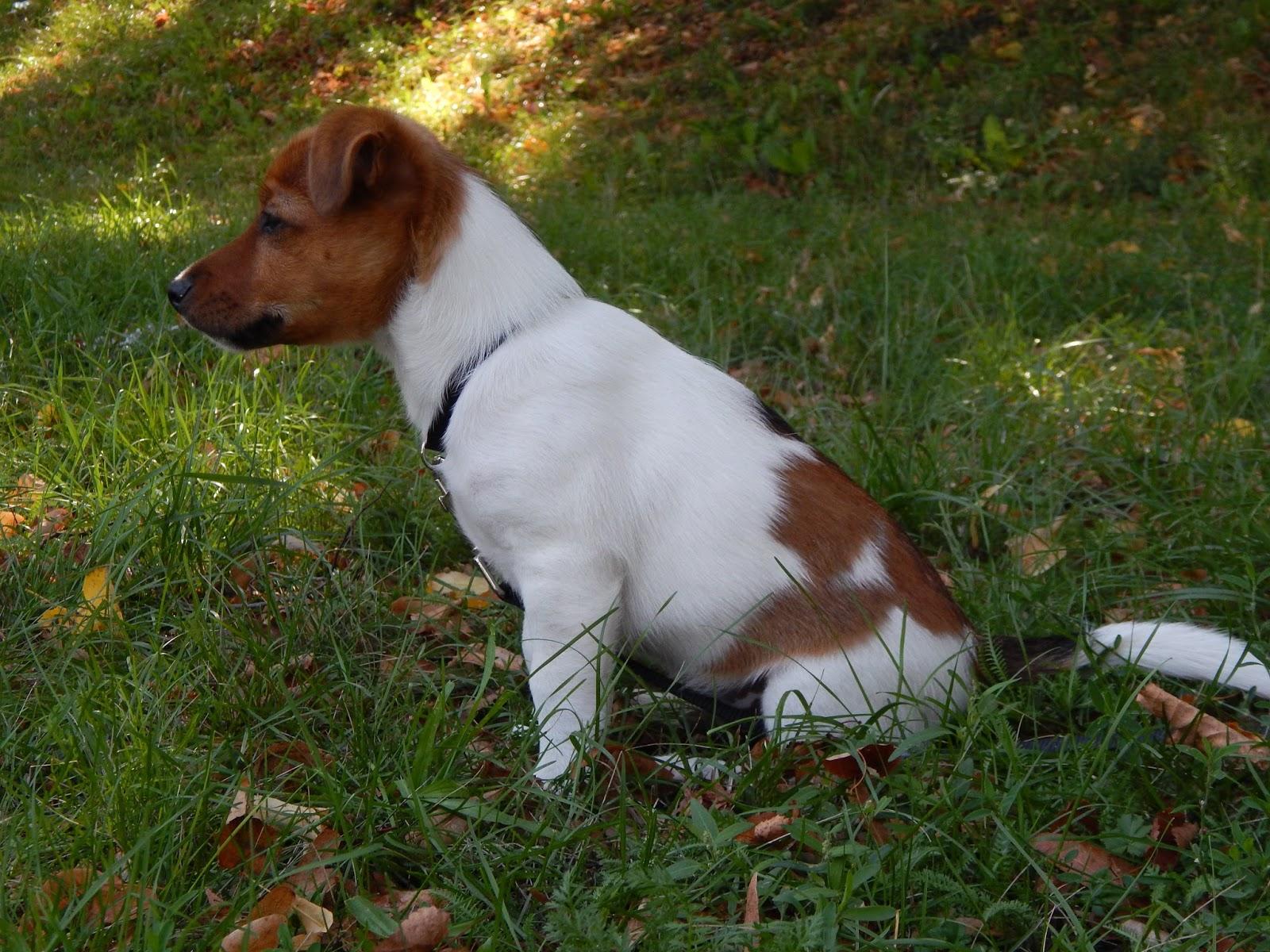 štěně jack russel teriér