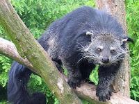 Misteri Mahluk Pemangsa Ternak di Taput Terungkap, Saut Simanjuntak dan Carlos Sihombing dapat Reward dari Kapolres