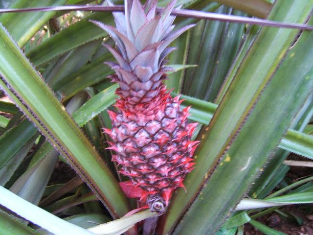 маленький ананас