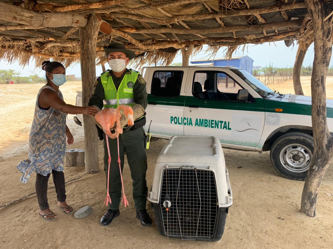 hoyennoticia.com, Flamenco Rosado es entregado por una comunidad indígena a las autoridades