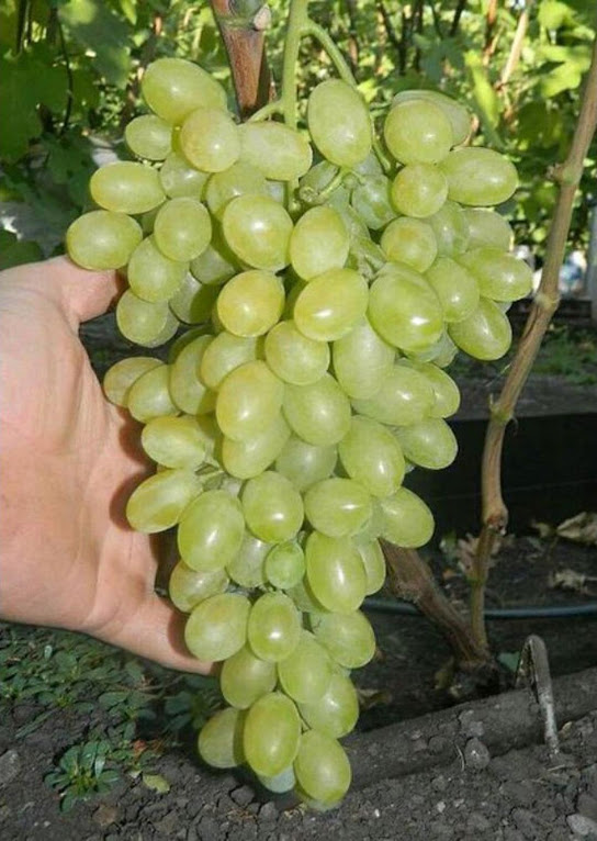 bibit anggur inport transfiguration unggulan Jambi