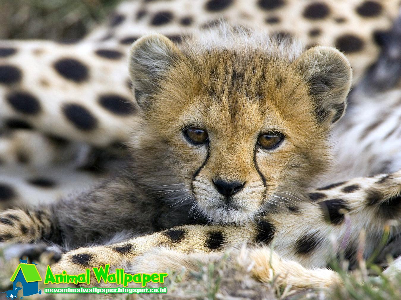 Cute Baby Cheetah Wallpaper - Animal Wallpaper