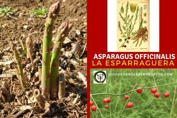 Asparagus officinalis es una planta silvestre, vivaz y comestible conocida como esparraguerra