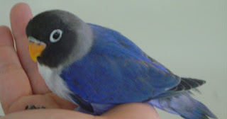 Burung Lovebird - Gangguan Pernapasan yang Menyerang Burung Lovebird  dan Cara Penangannannya - Penangkaran Burung Lovebird