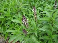 biopestisida organik