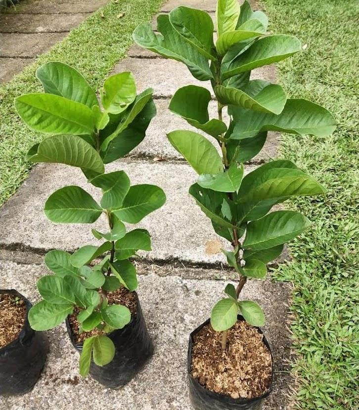 bibit jambu sukun tanpa biji Sumatra Barat