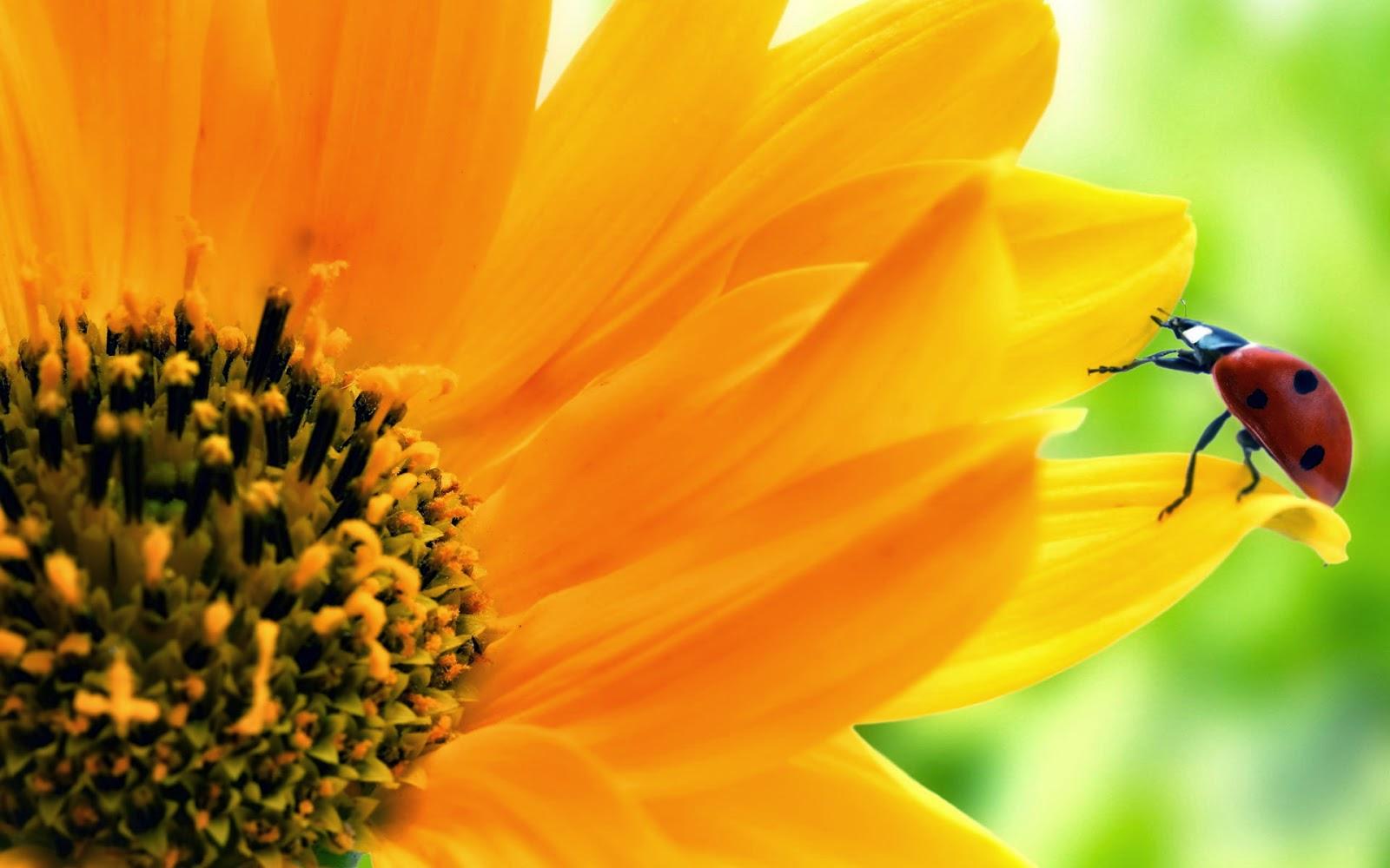 Wallpaper Bunga Matahari