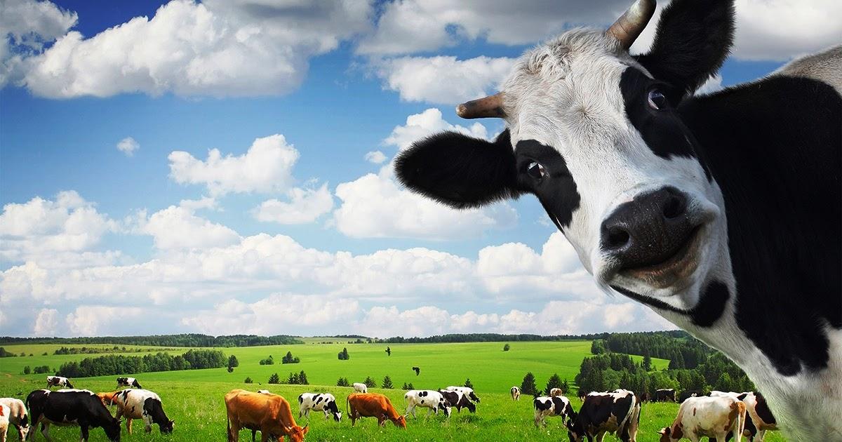 panduan cara budidaya ternak sapi perah terlengkap
