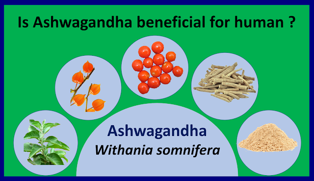 Is Ashwagandha ( withania somnifera) beneficial for human health. , Ashwgandha, Withania somnifera, health benefit of Ashwagandha, health benefit of Withania somnifera, medicinal plants,
