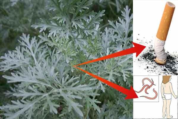 Încearcă această plantă care te scapă de viermi, paraziți și fumat… Nu vei regreta!
