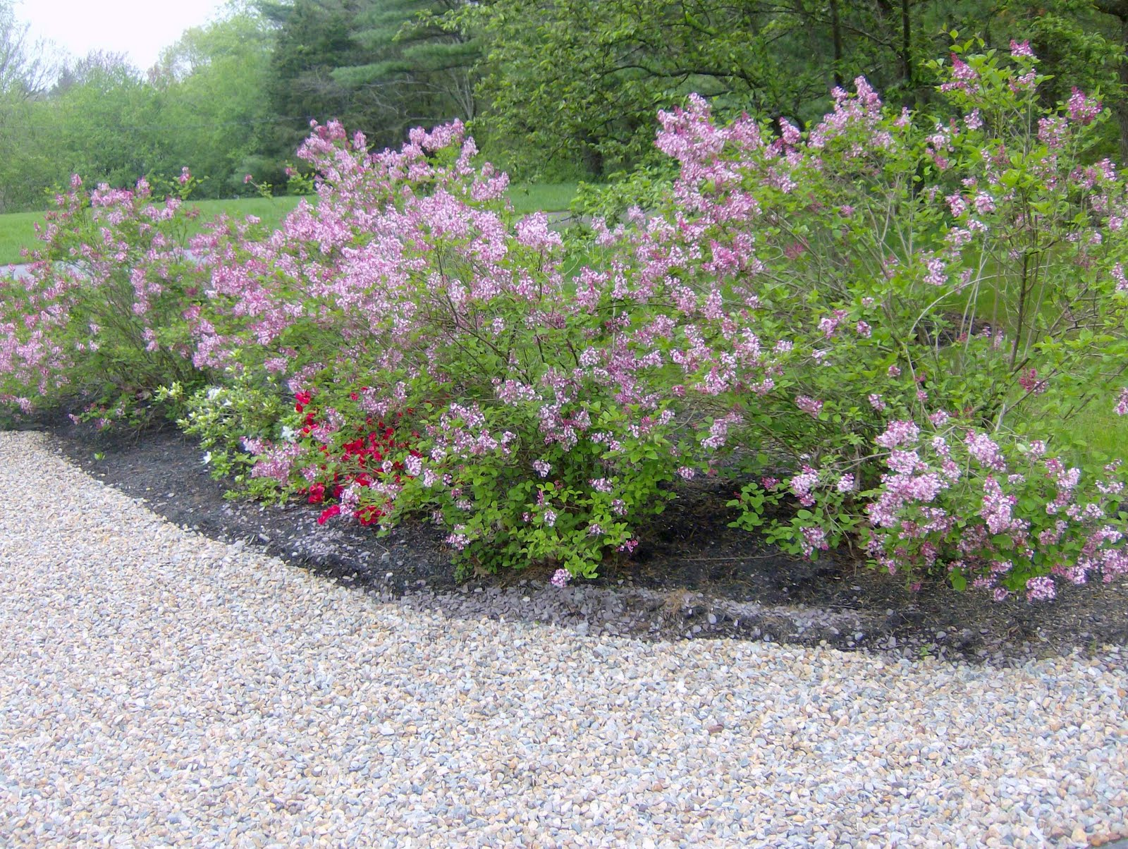 Tinkerbelle Lilacs And Garden Discoveries Shine Your Light