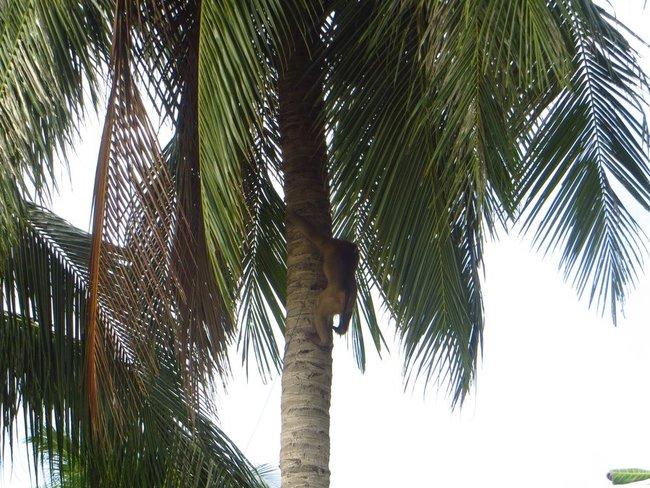 Обезьяна спускается с пальмы.