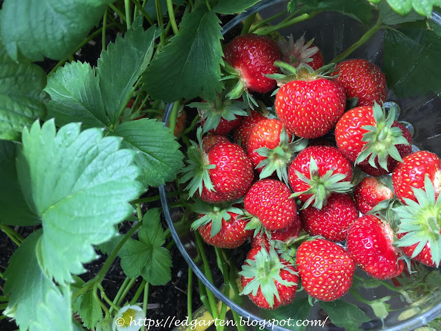 Erdbeeren auf dem Balkon ernten