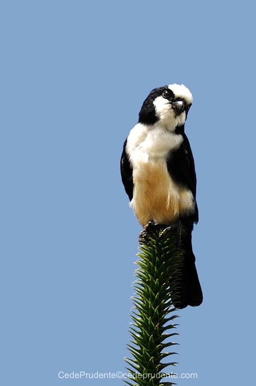 White Fronted Falconet Sabah