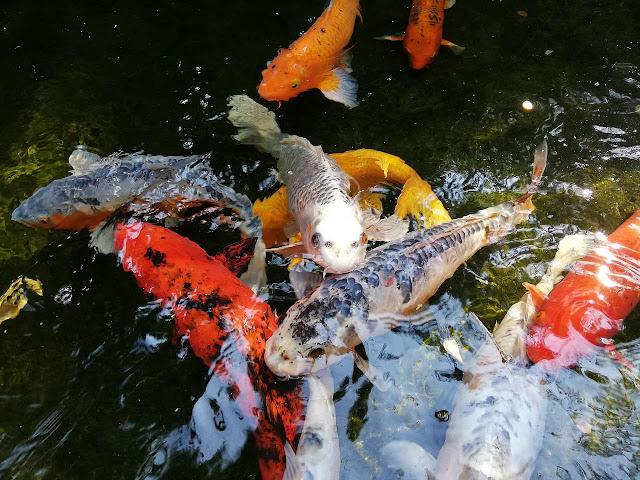 Gambar Ikan Koi Dari Atas