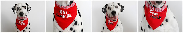 Dalmatian dogs modelling DIY Valentine's Day dog bandanas with iron-on text