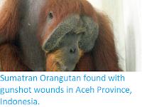 https://sciencythoughts.blogspot.com/2019/12/sumatran-orangutan-found-with-gunshot.html