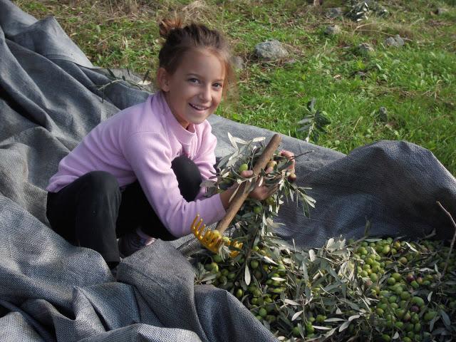 το μάζεμα της ελιάς με τα παιδιά
