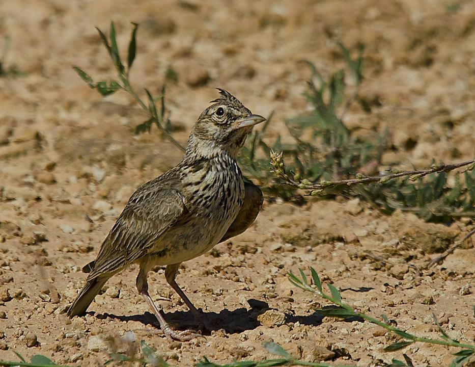 european larks bird