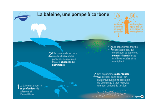 Les 2 impacts des baleines bleue sur l'equilibre de l'environnement