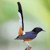 Memaksimalkan Suara Burung Murai Batu Dalam 2 Minggu