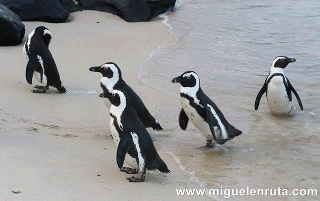 Pingüinos-Simon´s-Town-Cabo-Occidental